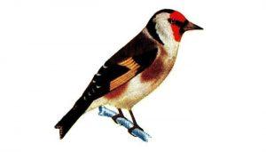 Imagen ilustrativa de la Cardelina (Carduelis carduelis)