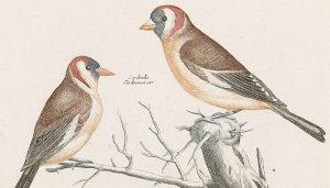 Dos Jilgueros europeos (Carduelis carduelis) en dibujo