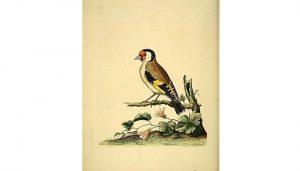 Jilguero europeo (Carduelis carduelis) en dibujo