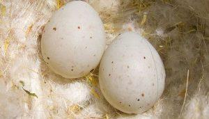 Dos huevos del Jilguero europeo (Carduelis carduelis)