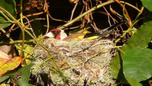 El nido del Jilguero europeo (Carduelis carduelis)