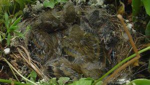 Polluelos del Jilguero europeo (Carduelis carduelis) en su nido