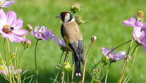 Jilguero europeo (Carduelis carduelis) entre las flores