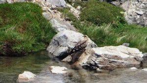 Milano Negro (Milvus migrans) entre las rocas