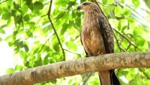 Milano Negro (Milvus migrans) en una rama