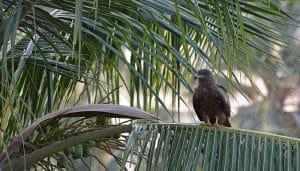 Milano Negro (Milvus migrans) en la naturaleza