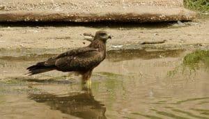 Milano Negro (Milvus migrans) en el agua