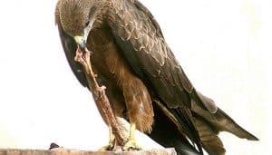 El Milano Negro (Milvus migrans) comiendo