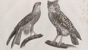 Dibujo del Milano Negro (Milvus migrans) y el Strix ascalaphus