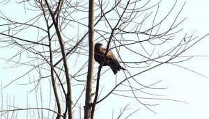 Milano Negro descansando en un árbol seco