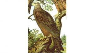 Ilustración del Milano Negro (Milvus migrans)