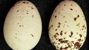 Dos huevos del Milvus migrans