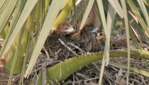 El nido del Milano Negro (Milvus migrans)