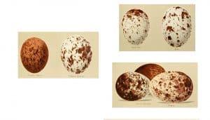 Los huevos del Milano Negro