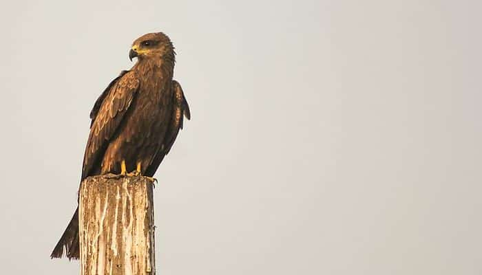Milano Negro (Milvus migrans) sobre un tronco