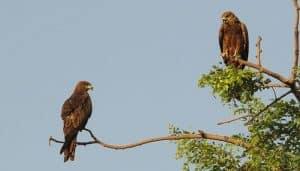 Dos Milanos Negros (Milvus migrans)
