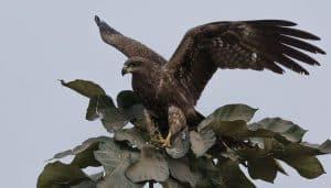 Milano Negro (Milvus migrans) sobre un árbol