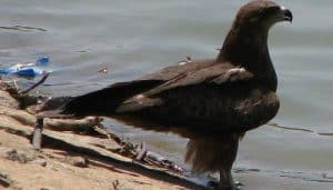 Milano Negro (Milvus migrans) parado frente al agua