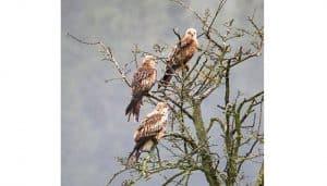 Tres Milanos Reales (Milvus milvus) en las ramas de un árbol