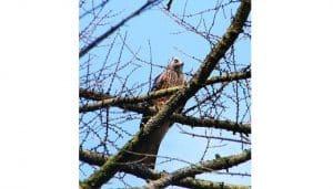 Milano Real (Milvus milvus) en un árbol