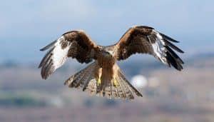 Hermoso Milano Real (Milvus milvus) volando