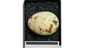 Huevos del Milvus milvus