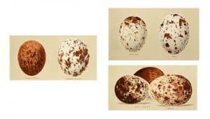 Los huevos del Milano Real