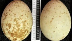 Huevos del Milano Real (Milvus milvus)