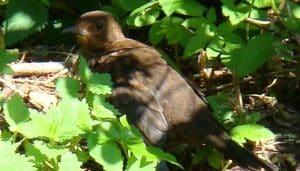 Mirlo Común(Turdus merula)entre las hierbas