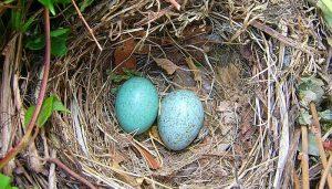 Dos huevos del Mirlo Común(Turdus merula)