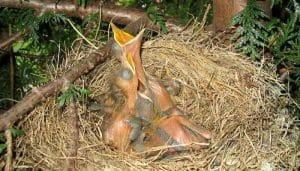 Crías del Mirlo Común (Turdus merula)