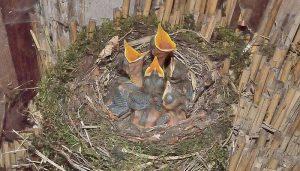 Nido y polluelos de Mirlo (Turdus merula)