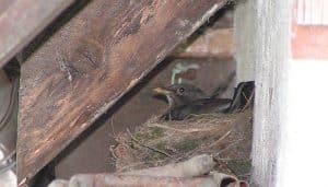 El nido del un Mirlo Común(Turdus merula)