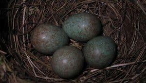 Huevos del Mirlo Común