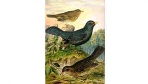 Mirlo Común y otras aves