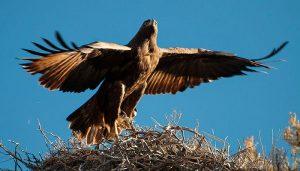 Nido del Águila Caudal (Aquila chrysaetos)
