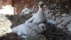 Nido y polluelos del Águila Real (Aquila chrysaetos)