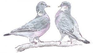 Dibujo de dos Paloma Torcaz (Columba palumbus)