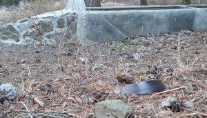 Pluma de la Paloma Torcaz (Columba palumbus) en el suelo