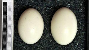 Dos huevos de la Paloma Torcaz (Columba palumbus)