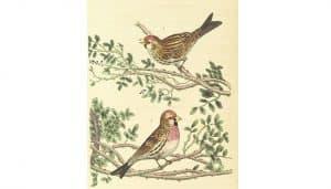 Dibujo de dos Pardillo Común (Linaria cannabina)