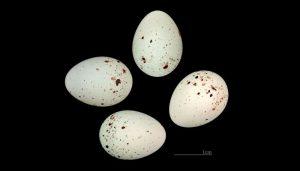 Huevos del Pardillo Común (Linaria cannabina)