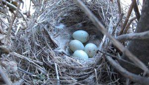 Nido y huevos del Pardillo Común (Linaria cannabina)
