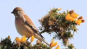 El Pardillo Linaria cannabina sobre las ramas de un árbol