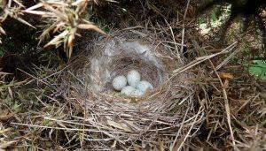 Los huevos del Pardillo Común (Linaria cannabina) en la naturaleza