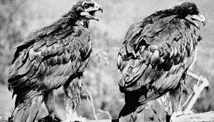 Pareja de Águilas Reales (Aquila chrysaetos)