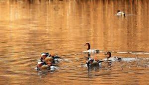 Grupo de Patos Mandarín (Aix galericulata) nadando
