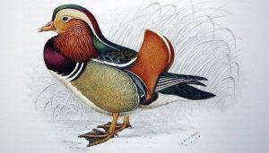 Dibujo del Pato Mandarín (Aix galericulata)