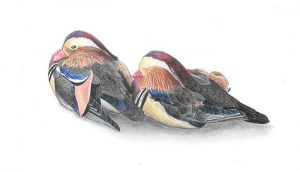 Dibujo de dos Patos Mandarín (Aix galericulata)