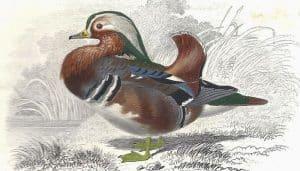 Bello dibujo de un Pato Mandarín (Aix galericulata)